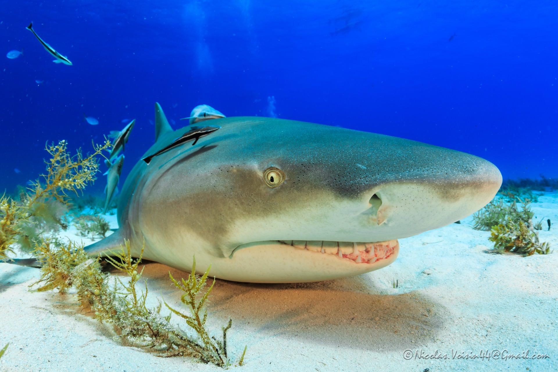 Shark Photo By Nicolas Voisin